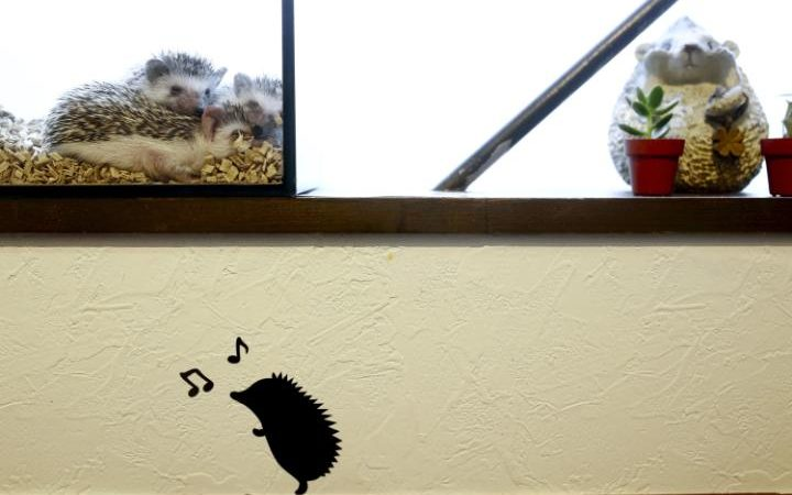 94805929 Hedgehogs sit in a glass enclosure at the Harry hedgehog cafe in Tokyo Japan April 5 2016 I large transwRnwQ0KgCqCTKamrqQKaYmnrOeeELmwwcvioEuXS7yg