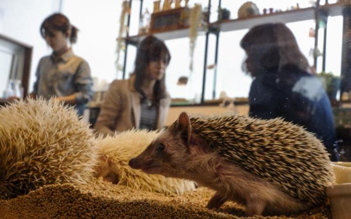 94805930 Hedgehogs sit in a glass enclosure at the Harry hedgehog cafe in Tokyo Japan April 5 2016 I large transZgEkZX3M936N5BQK4Va8RQJ6Ra64K3tAxfZq0dvIBJw