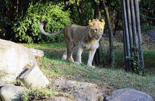 Two young lions majo and motshegetsi 1