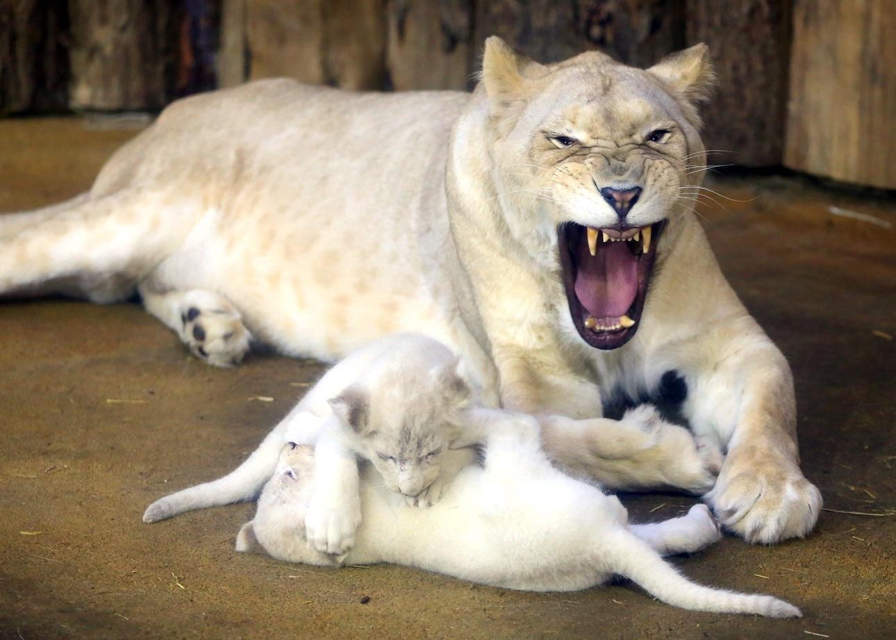 львы1