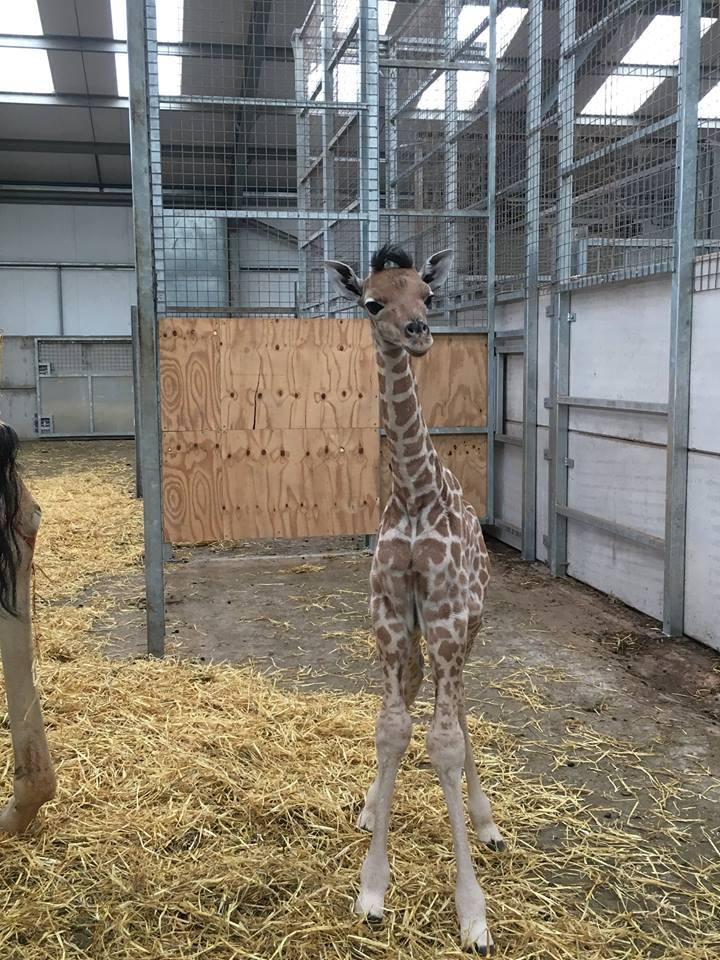 жираф11
