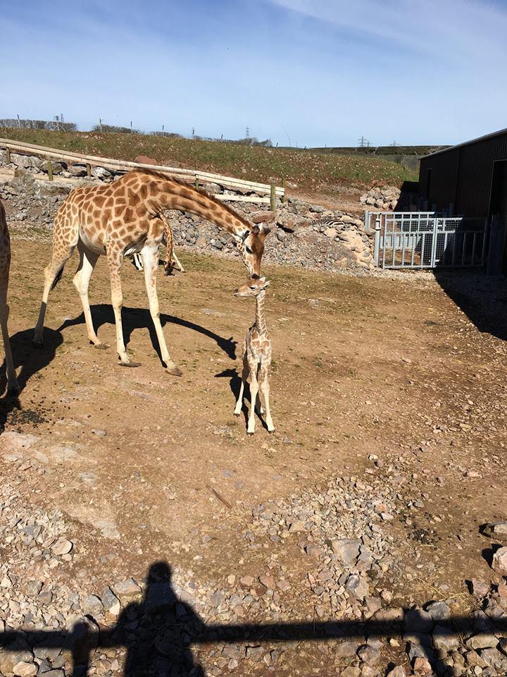 жираф14