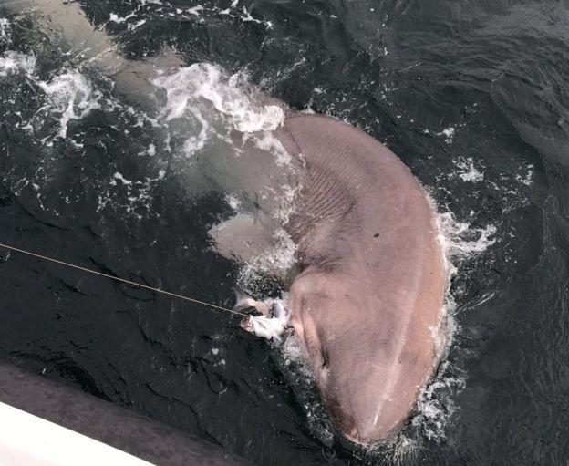 В Ирландии поймали шестижаберную акулу невиданных размеров