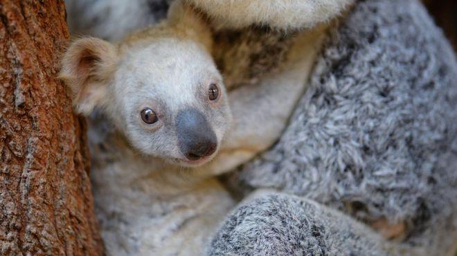 коала1