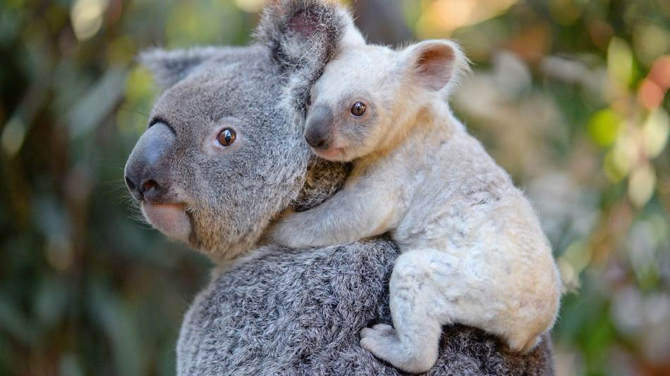 коала3