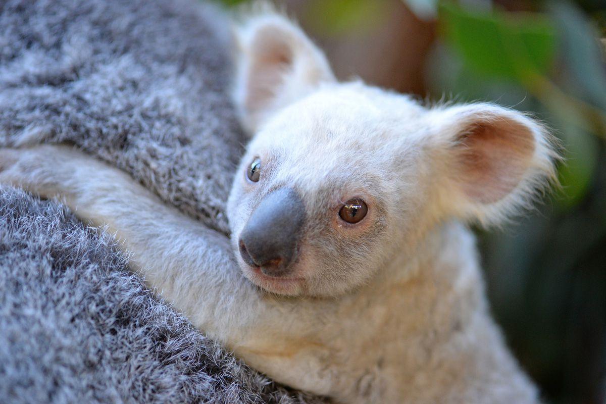 коала4