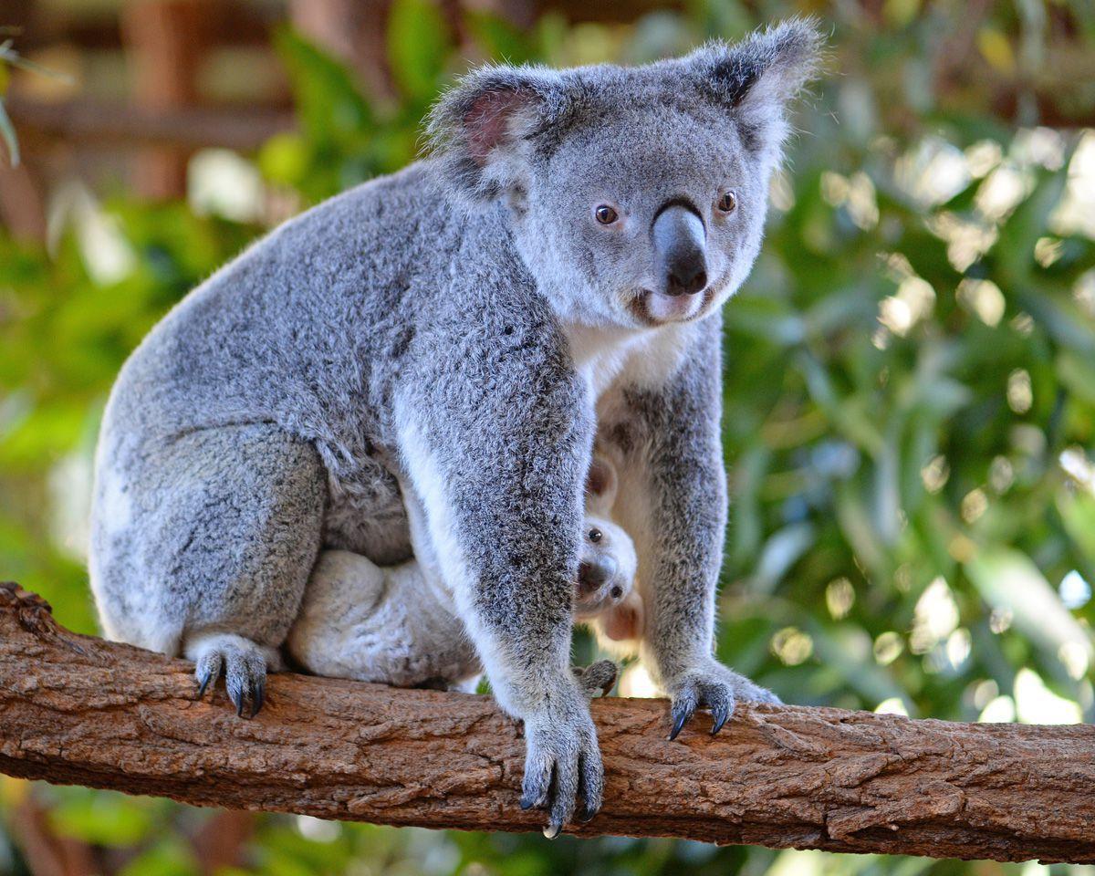 коала5