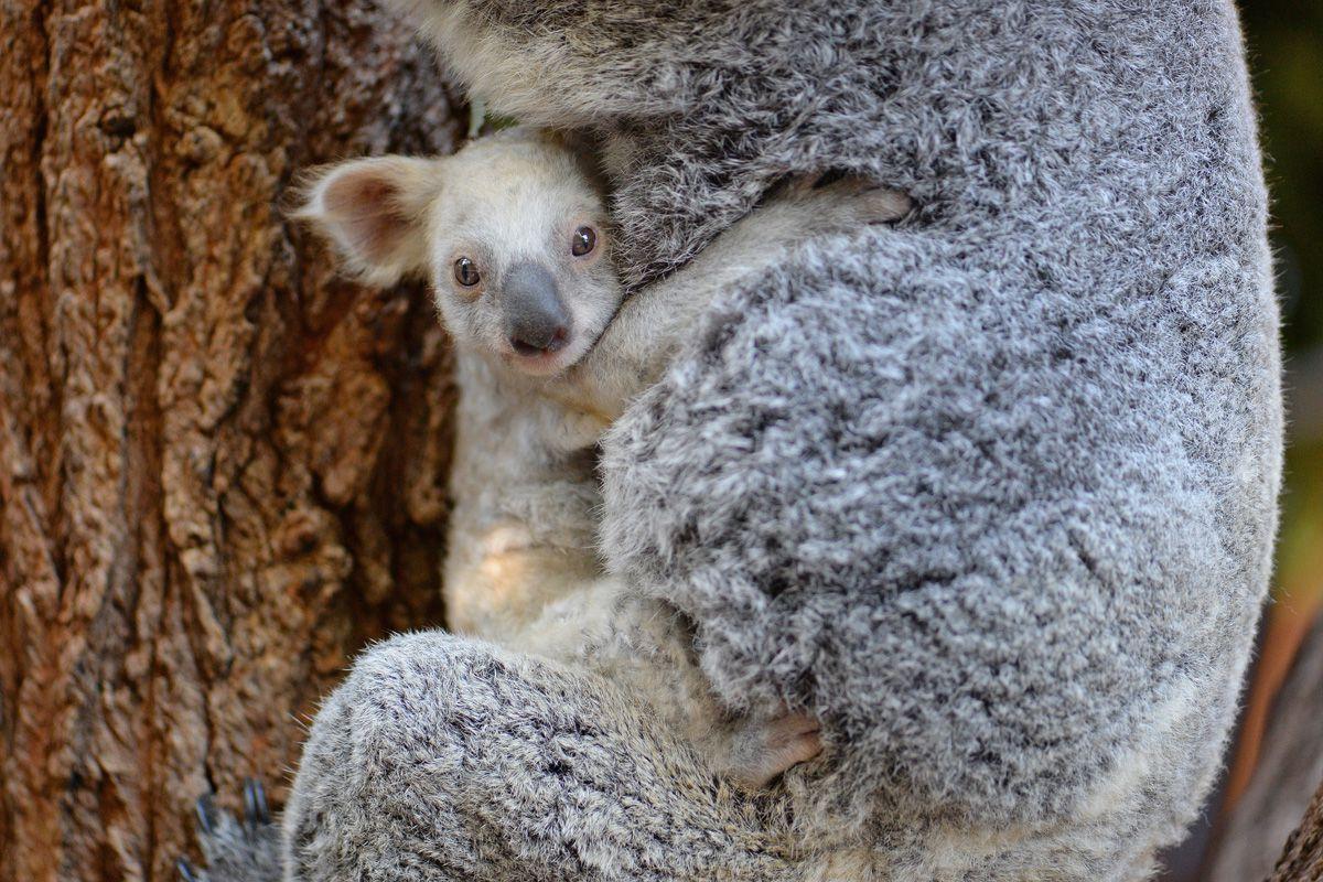 коала6