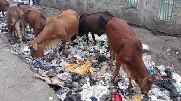 97572116 cows