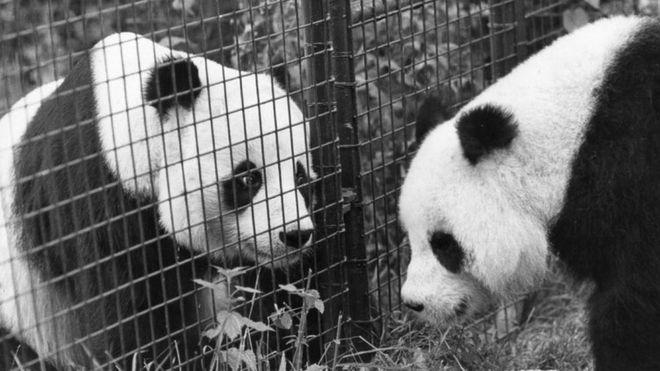 панда1