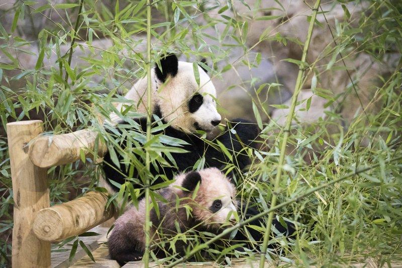 панда10