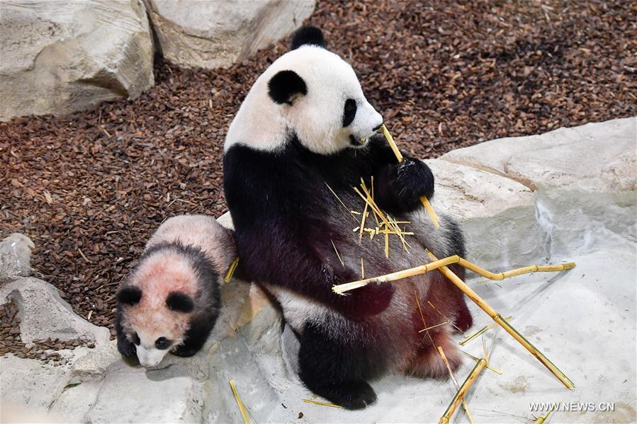 панда13