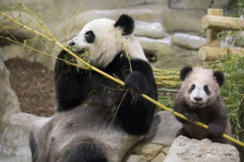 панда9