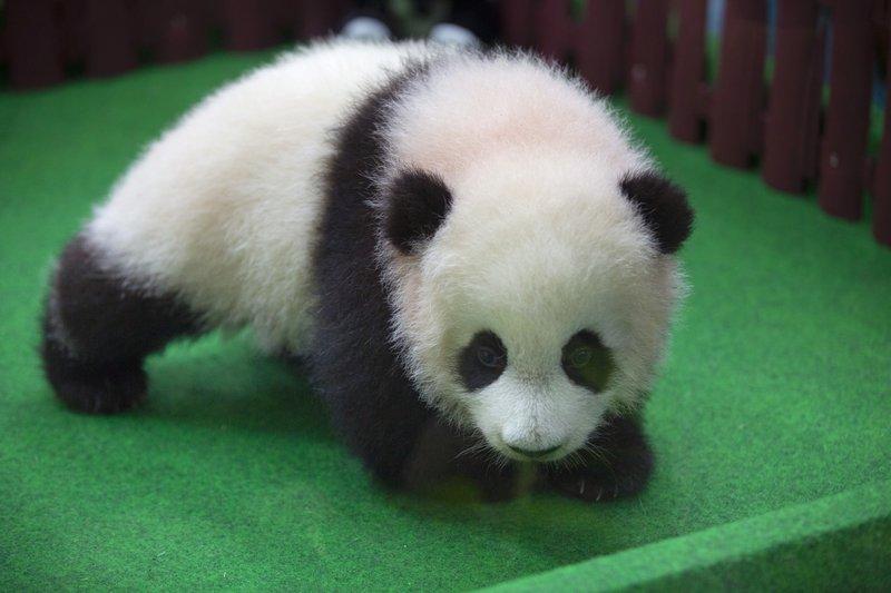 панда4
