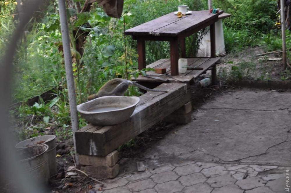 Обезьяны в садовом кооперативе