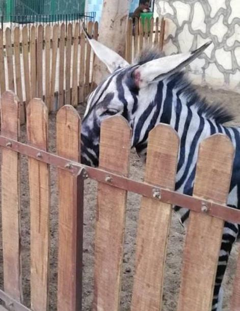Фейковая зебра