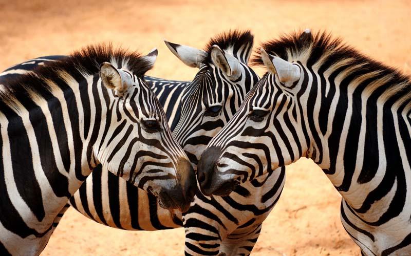 Зебры_зоопарк_египет