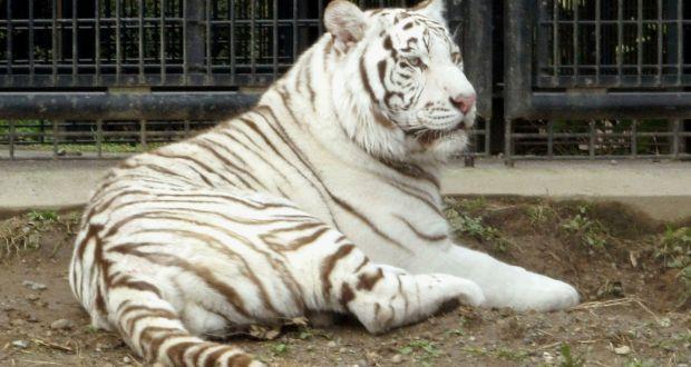 тигр Рику