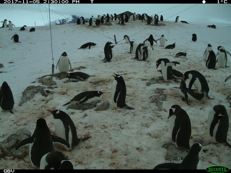 Пингвины3