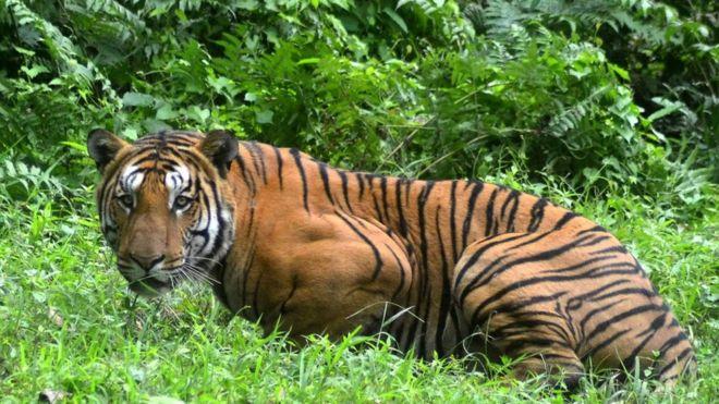 тигрица1