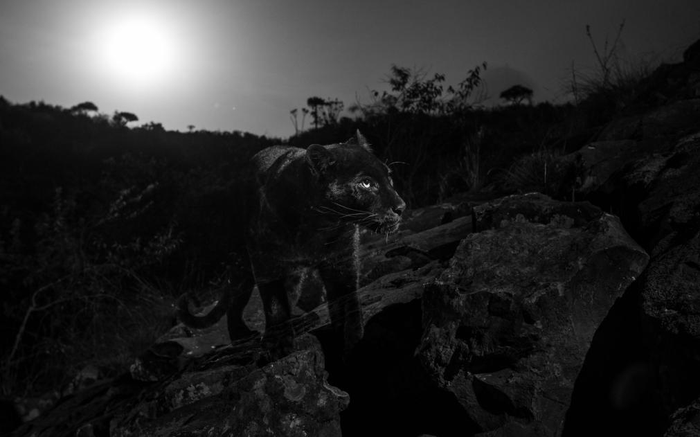 Черный леопард 3