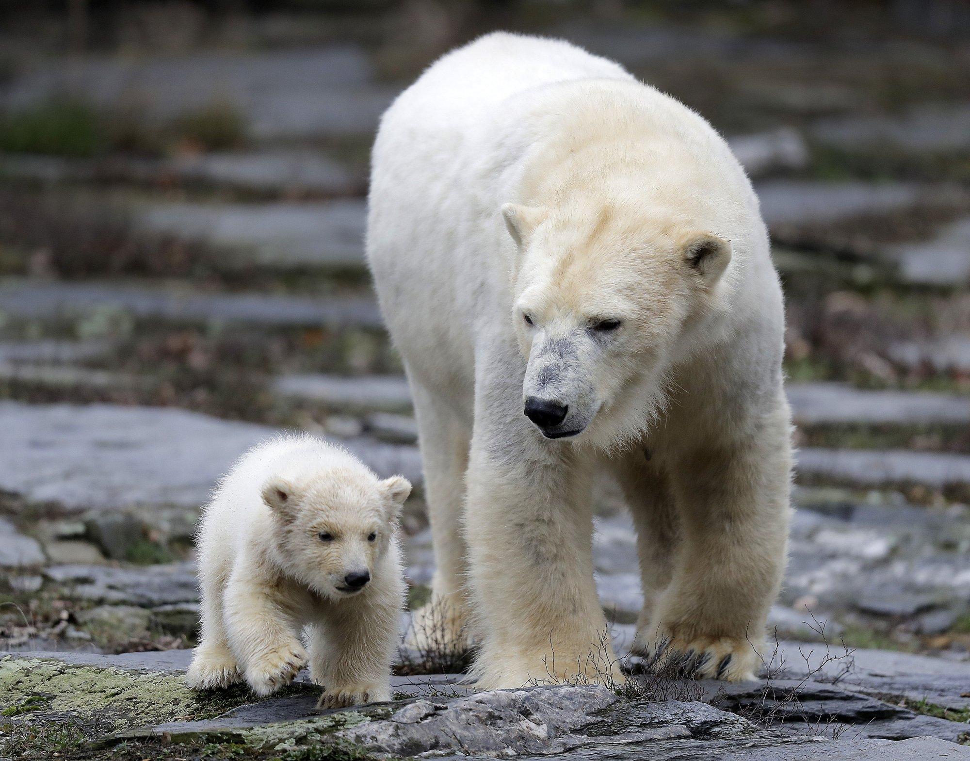 сменить фото белой медведицы с медвежонком мастичный