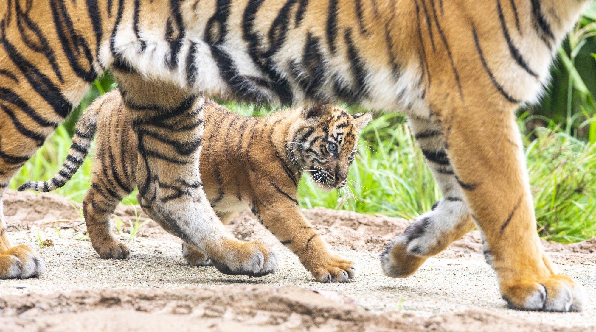 тигр5