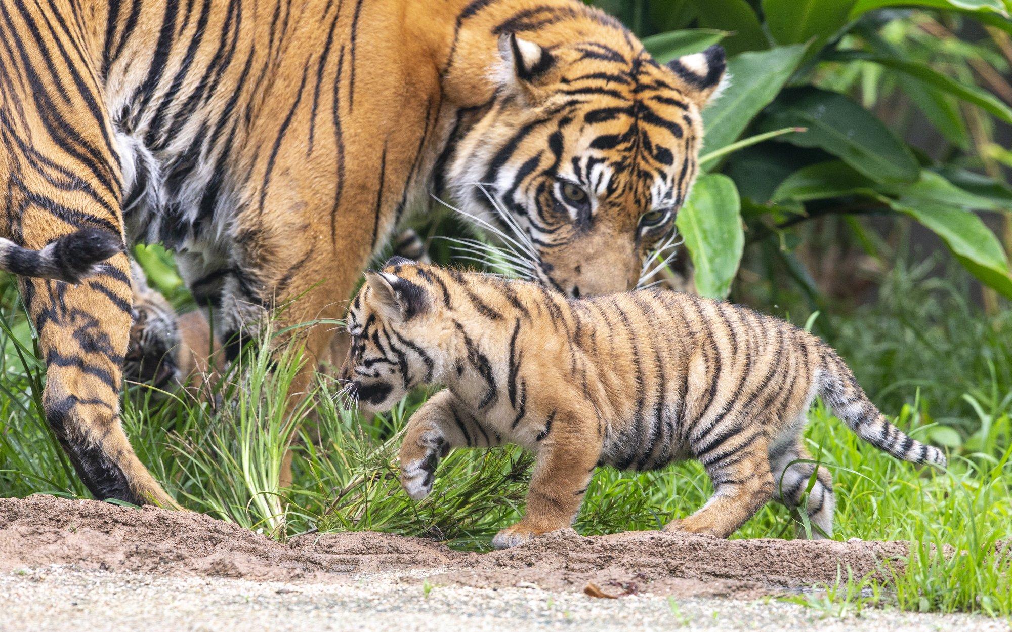 тигр9
