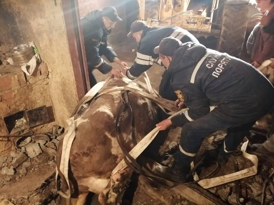 винница_корова