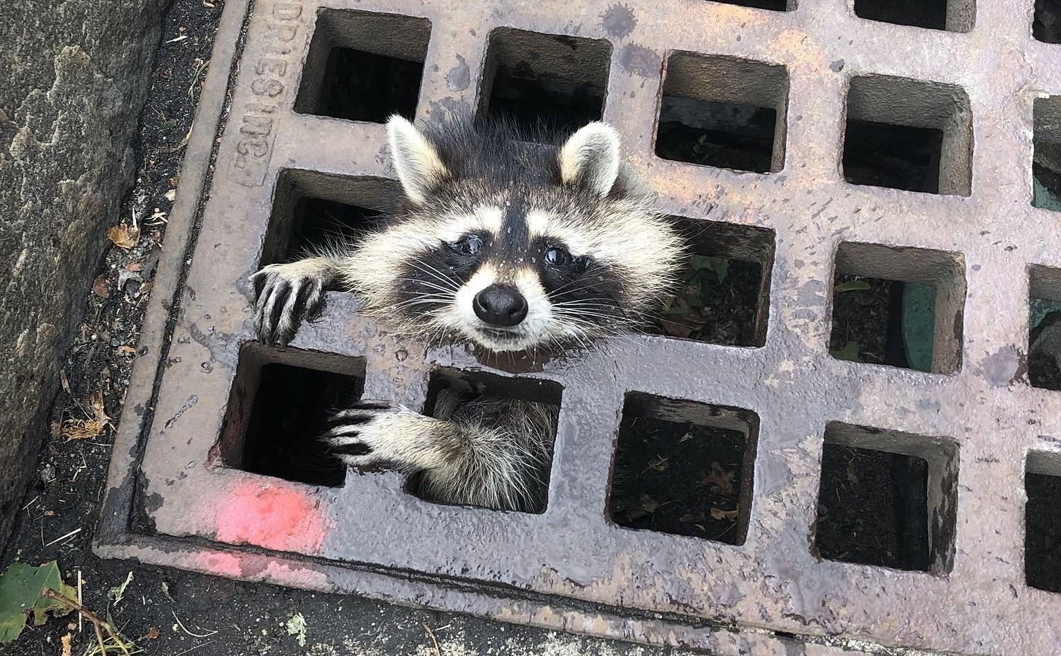 190802 grate raccoon ew 1048a 417523a70be244c42ec58dafa72ec089.fit 2000w